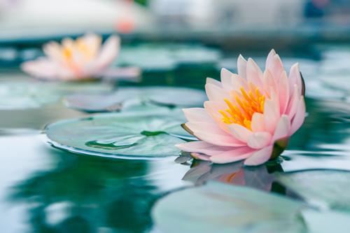 Waterlelies als symbool voor hoger bewustzijn